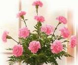 carnationdozlarge-thumb.jpg