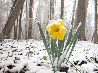 daffodil-snow.jpg